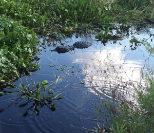 An alligator on the La Chua Trail. Photo by Shayna Tanen