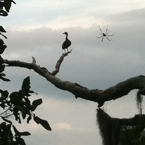 A cormorant and a giant spider at the La Chua Trail. Photo by Shayna Tanen